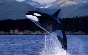 killer-whale-825-2560x1600